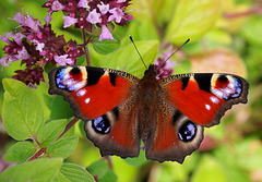 P8146442 - Peacock butterfly