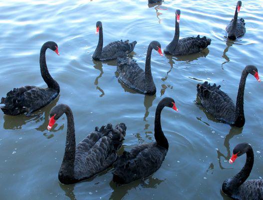 Ballet de cygnes noirs
