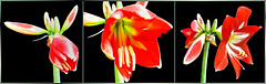 Amaryllis - Multi Color - Collage. ©UdoSm