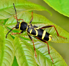 Clytus arietus. The Wasp Beetle