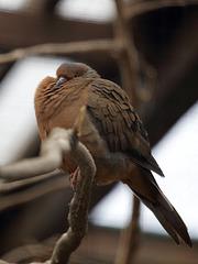 In Freiheit ausgestorben: Socorrotaube (Zoo Heidelberg)