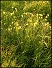 evening buttercups