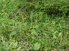 Platanthera hookeri (Hooker's Bog orchid)