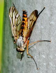 Rhagio scolopaceus,Family Rhagionidae. Snipe-Fly