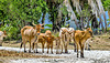 18-03-27 - 26 - Guadeloupe - Marie Galante - Anse feuillard - Vaches-LR (2) Renamed by IWS