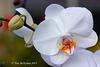 Phalaenopsis  058 copy