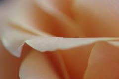 Petals ~ Rose ~