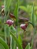 Cypripedium arietinum (Ram's Head orchid)