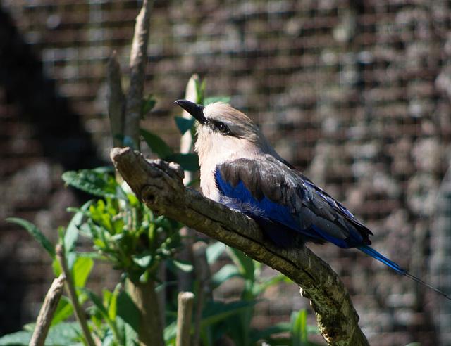 martin pêcheur  géant - parc des oiseaux Villars les Dombes