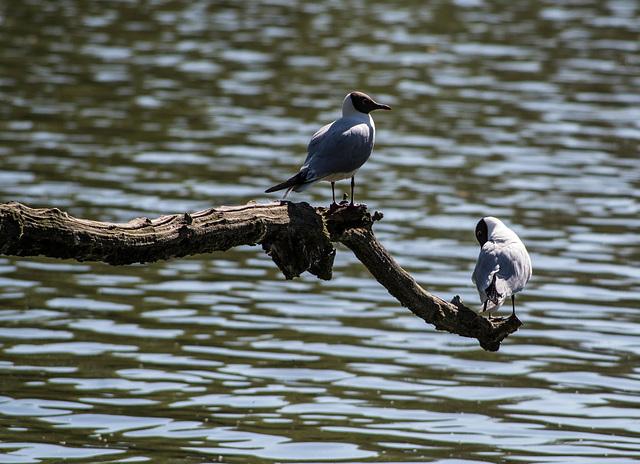 mouettes rieuses - parc des oiseaux Villars les Dombes