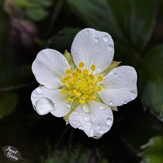 Pictures for Pam, Day 187: Droplets on Strawberry Blossom Next to Our RV!