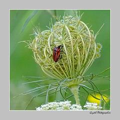 Graphosoma Italicum ...