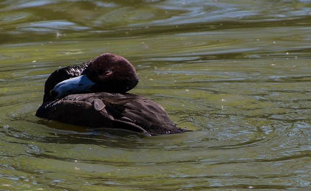 fuligule nyroca - parc des oiseaux Villars les Dombes