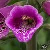 335/366: Foxglove Blossom [+1 in a note]