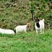 Three Goats.