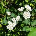 Bramble flowers