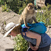 Thieving Macaque on Gibraltar