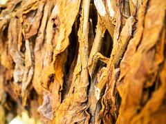 Tobacco, Valle de Viñales, Cuba