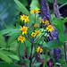 Golden Ragwort (Senecio aureus)