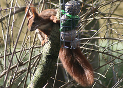 Red Tree Squirrel Female M27-03
