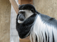 Colobus monkey - such a poser