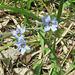 White Blue-eyed Grass (Sisyrinchium)