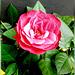 Red rose in full bloom... ©UdoSm