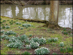 snowdrops by the Cherwell