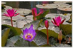 Nymphaeaceae - Water Lilies