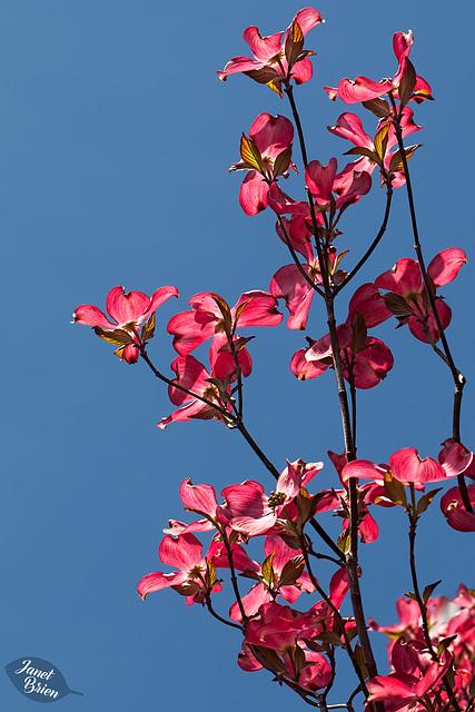 135/366: Dogwood Blossoms