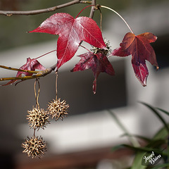 Pictures for Pam, Day 76: Sweet Gum