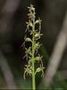 Neottia cordata (Heartleaf Twayblade orchid)