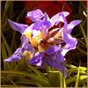 Tillandsia aerantos : la pianta dell'aria - (896)
