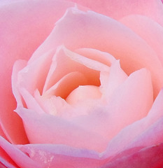 Rose tendre / Tender pink