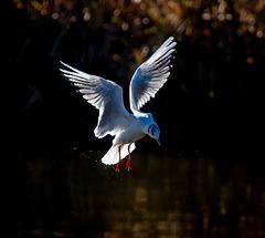 Gull in flight