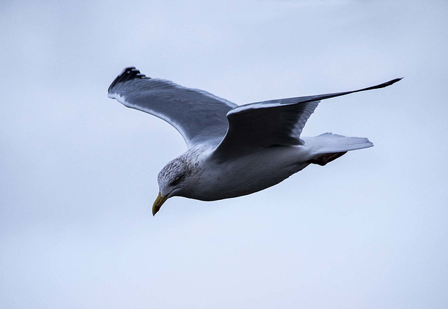 Seagull flight shots (6)