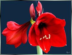 Amaryllis erblüht. Tag 6... Amaryllis blossoms. Day 6.... ©UdoSm