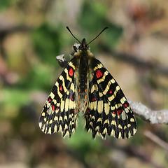 Joli papillon de l'Algarve (Portugal)