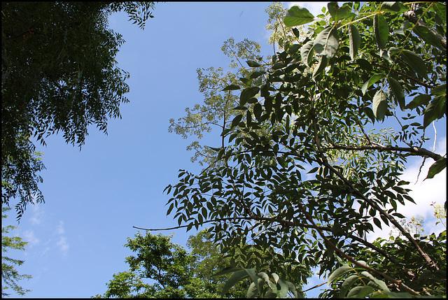 Aralia spinosa (4)