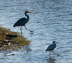 Heron and little egret in step with each other