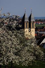 Ockstadt/Wetterau - The Paradise of Cherry-Trees