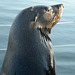 Namibia, Portrait of Brown Fur Seal