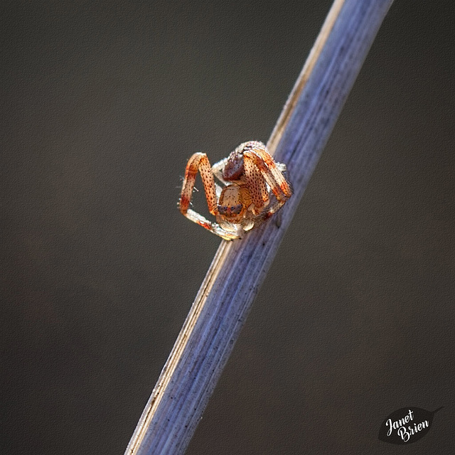 276/366: Adorable Baby Crab Spider