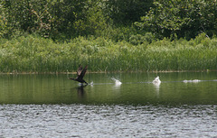 Cormorant: cleared for take-off ...