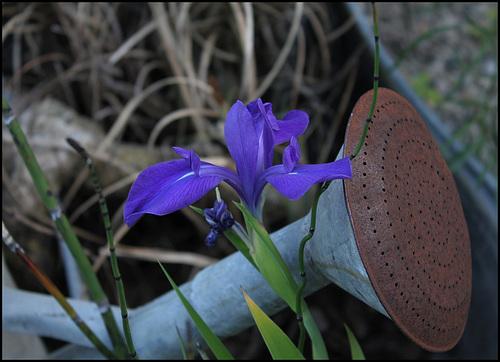 Iris bleu (1)