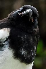 Juvenile Magpie With Attitude