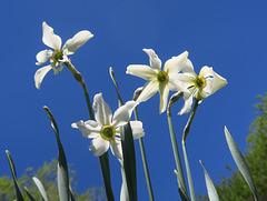 Narcisses des poètes (Narcissus poeticus) au Col du Lautaret, Briançonnais (France)