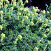 Elfenbein - Steinbrech Blütenknospen  (Pic in Pic)
