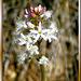 Fieberklee oder Bitterklee (Menyanthes trifoliata). ©UdoSm
