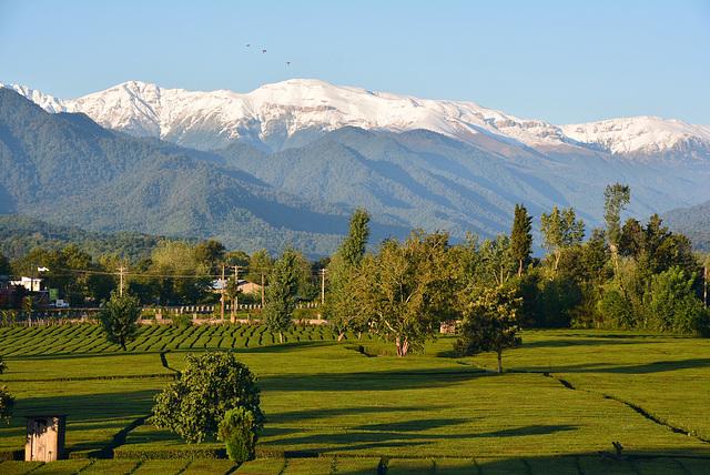 Northern  Iran. Tea plantation